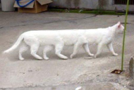 long_cat